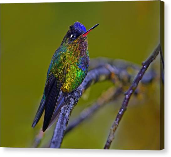 Fiery-throated Hummingbird Canvas Print
