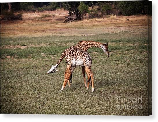 Fighting Giraffe Canvas Print