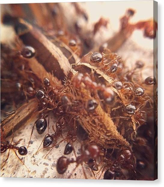 Ants Canvas Print - Fire Ant Army Killing Spider. Amazingly by Chanara Chhoun