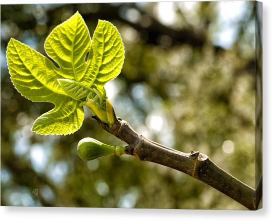 First Leaves And Fig  Canvas Print