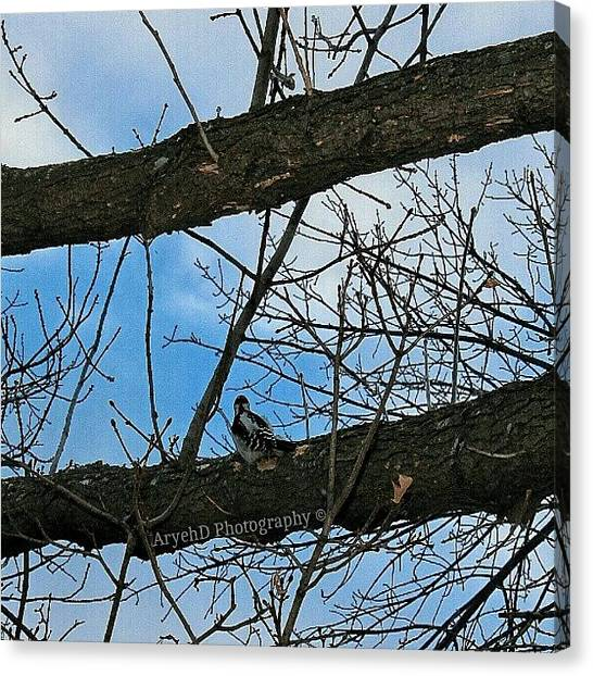 Woodpeckers Canvas Print - First Time Using #snapseed, It Is An by Aryeh D
