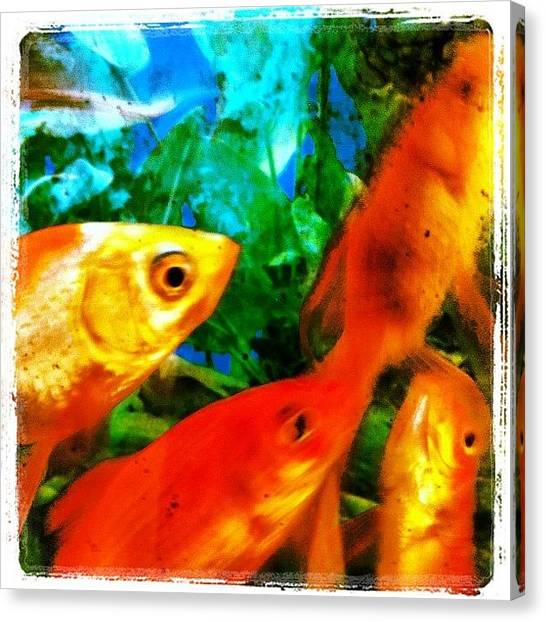 Goldfish Canvas Print - #fish #fishing #water #sea #aquarium by Alon Ben Levy