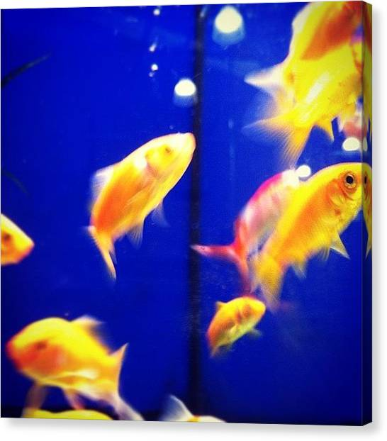 Goldfish Canvas Print - #fish #goldfish #pet #water #aqua #swim by Stewart Garnett