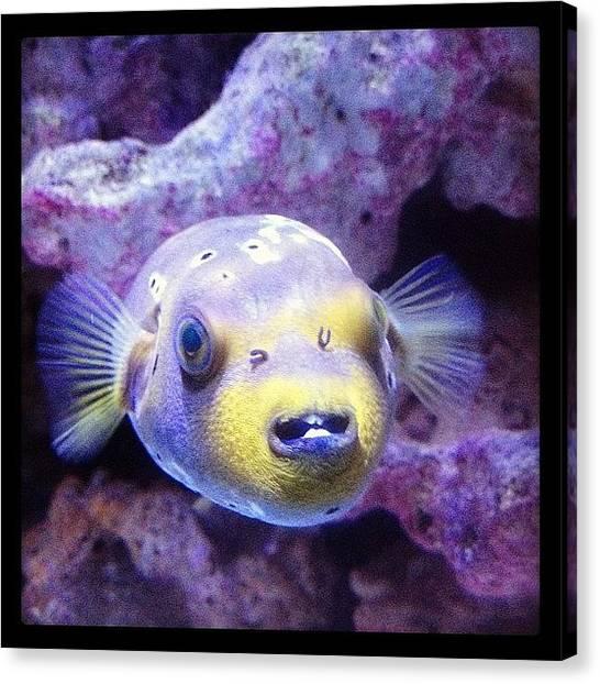 Tropical Fish Canvas Print - #fish #puffer #tropical by Lora Mercado