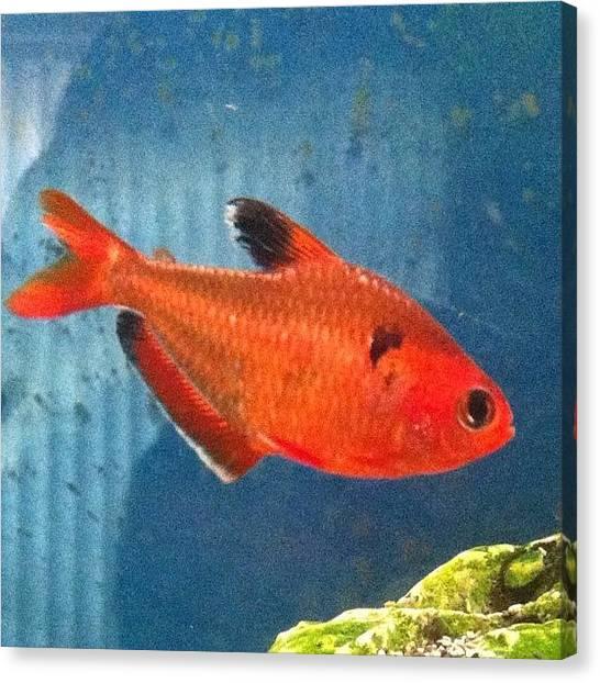Tropical Fish Canvas Print - #fish #tropical by Umberto DiPalma