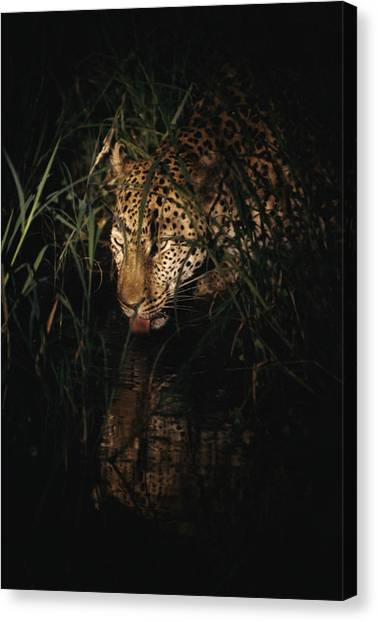 Republic Of South Africa Canvas Print - Five-year-old Male Leopard Tjololo Laps by Kim Wolhuter