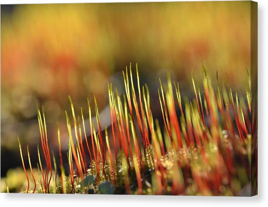 Flaming Moss Canvas Print