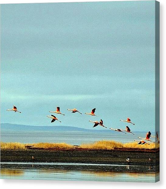 Flamenco Canvas Print - Flamingos by Carlos Avalos