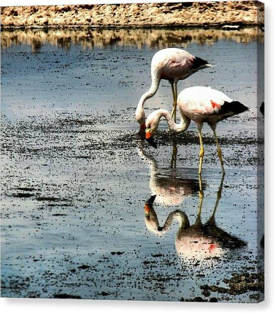 Flamenco Canvas Print - Flamingos #flamingo #ave #bird #salar by Gogliardo Maragno