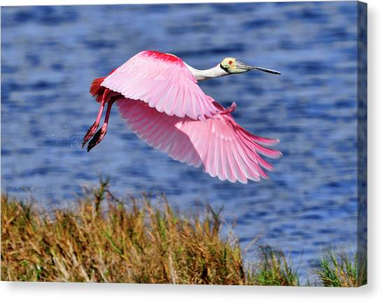 Flight A Roseate Spoonbill Canvas Print