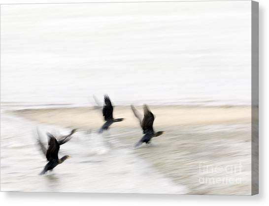Flight Of The Cormorants Canvas Print by David Lade