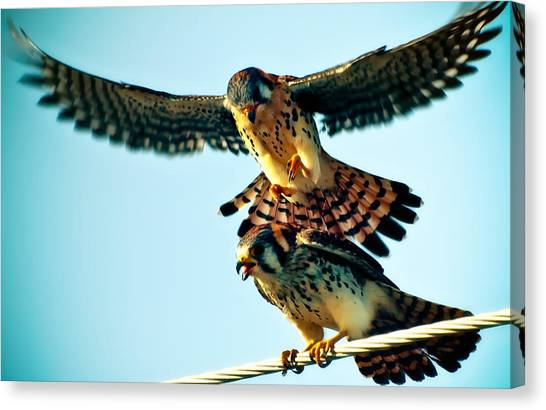 Flight Of The Hawk Canvas Print