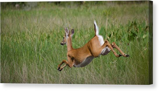 Florida White Tail Canvas Print