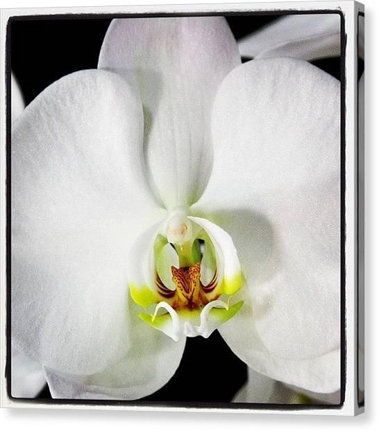 Orchids Canvas Print - #flower #photography #white by Kim Szyszkiewicz