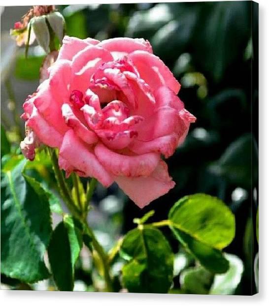 Utah Canvas Print - Flower Power! #rose #roses #roseporn by Becca Watters