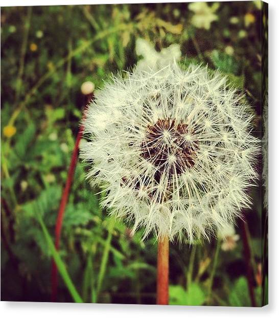 Lions Canvas Print - #flower #weed #countryside #dandelion by Dean Ferris