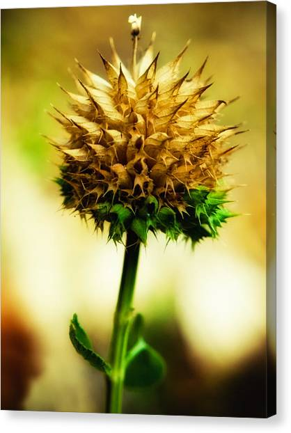 Flowered Thorns Canvas Print