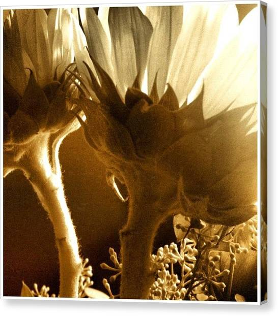 Sunflowers Canvas Print - #flowers #sunlight #justbecause by Lucy Siciliano