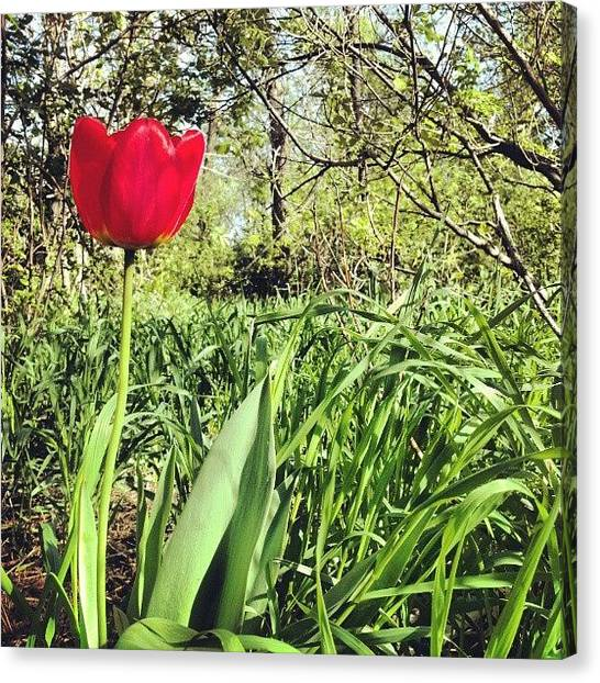 Tulips Canvas Print - #flowers#tulips #spring #trees by Emily Nielsen