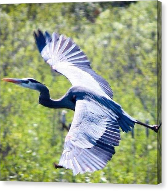 Flying Canvas Print - #fly #flying #bird #herein #birds by Jamiee Spenncer