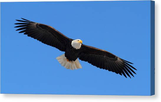 Flying Bald Eagle Canvas Print