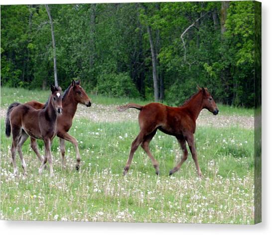 Foals In Dandelions Canvas Print
