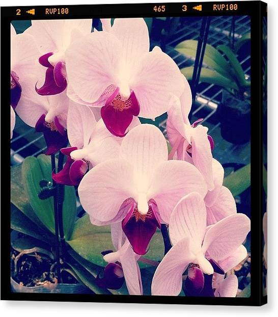 Orchids Canvas Print - For Some Reason, They Reminded Me Of by Aliya Zin