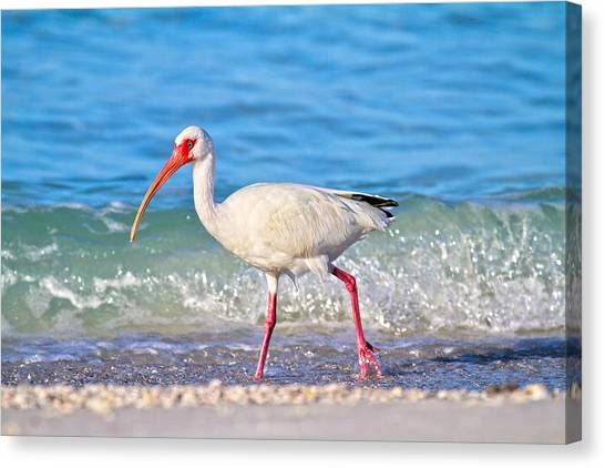 Ibis Canvas Print - For The Birds by Betsy Knapp
