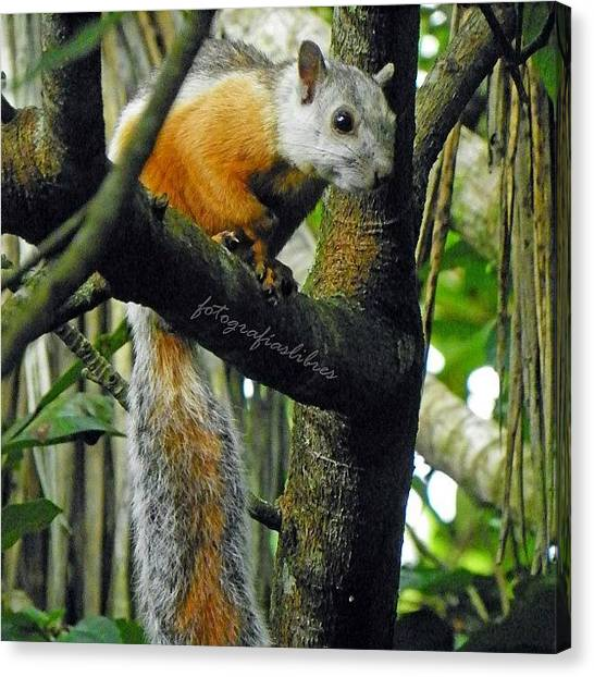 Squirrels Canvas Print - #fotografía #naturaleza #animal by Fotografias Libres