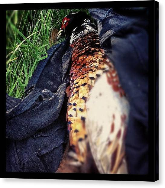 Pheasants Canvas Print - Found This Poor Little Beauty After by Boo Mason