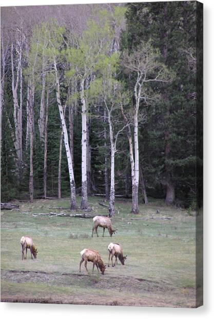Four Elk   Four Aspen Canvas Print