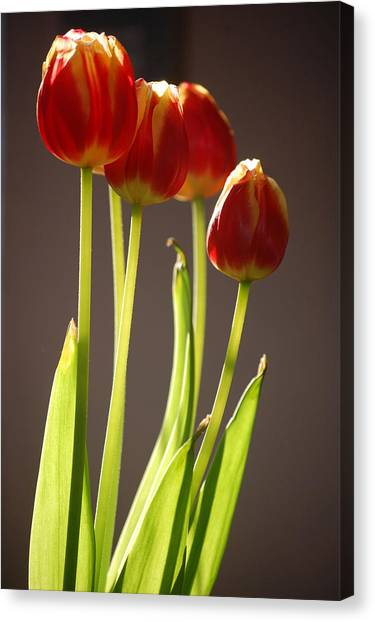 Four Tulips Canvas Print by Dickon Thompson
