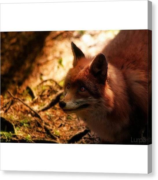 Foxes Canvas Print - Fox || Lurpis @ Kik #iphonesia by Robin Hedberg