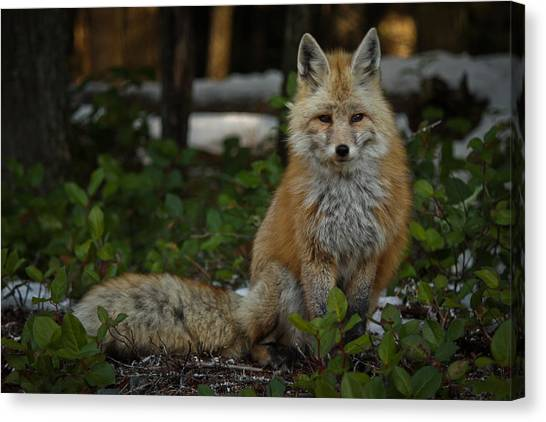 Fox In The Forest Canvas Print by Warren Marshall