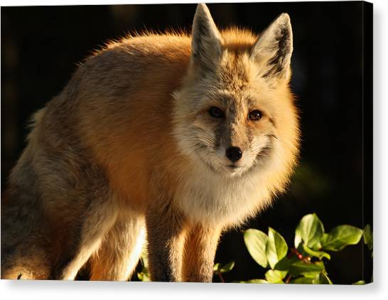 Fox In The Light Canvas Print by Warren Marshall