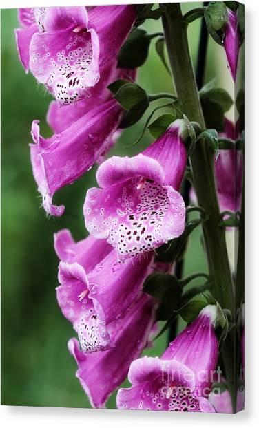 Foxglove Flowers Canvas Print - Foxglove Flower by Stephanie Frey