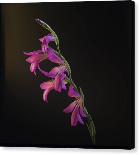 Freesia In The Spotlight Canvas Print