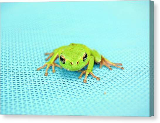 Frogs Canvas Print - Frog Italy by Rhys Griffiths Photography