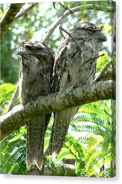 Canvas Print featuring the photograph Frogmouths  by Virginia Mcgowan