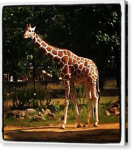 Giraffes Canvas Print - #fun #zoo #animals #exotic #wild by Leticia Moreno