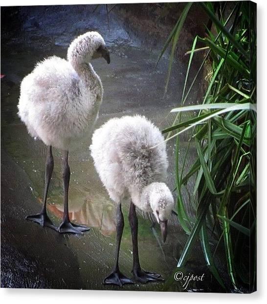 Flamingos Canvas Print - Fuzzy Flamingo Chicks #santabarbarazoo by Cynthia Post