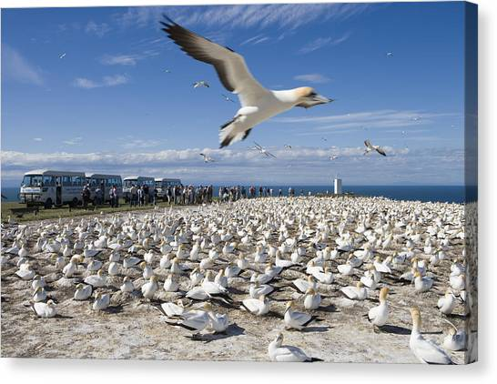 Gannet Safari At Cape Kidnappers Gannet Colony Canvas Print by Holger Leue