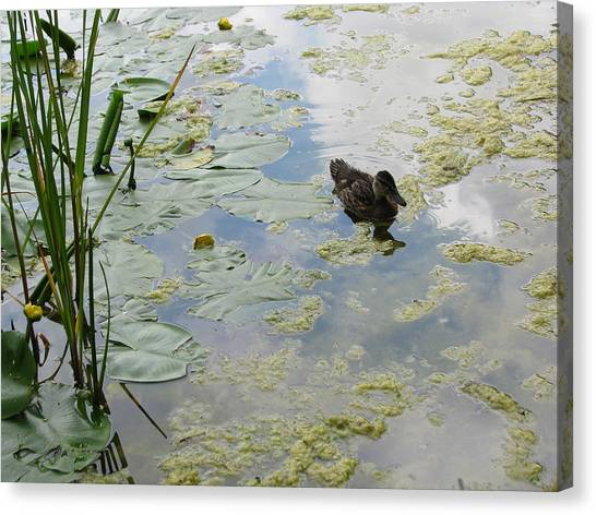 Garden Duck Canvas Print by Audra Crouch