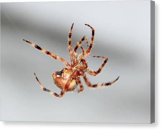 Garden Spider Number 1 Canvas Print