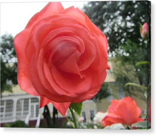 Liberty University Canvas Print - Gardens-liberty Rose by Susan Carella