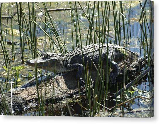 Canvas Print featuring the photograph Gator by Ralph Jones