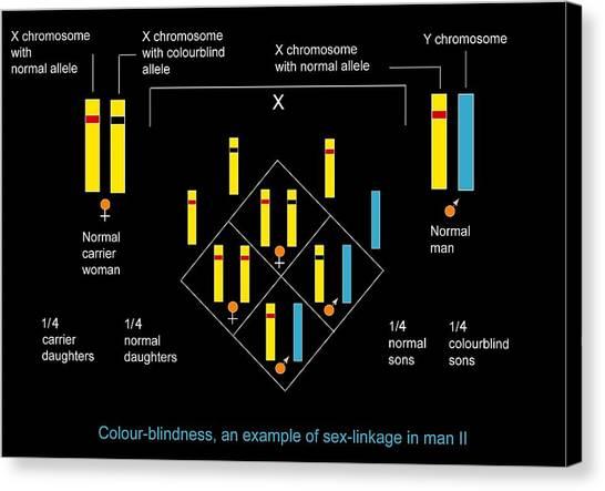 Genetics Of Colour Blindness, Diagram Canvas Print by Francis Leroy, Biocosmos