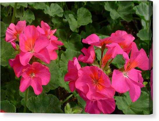 Geraniums Canvas Print by Linda Pope