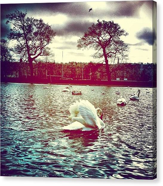 Swans Canvas Print - #gfdaily_toastertuesday_002 by Sarah Drummond
