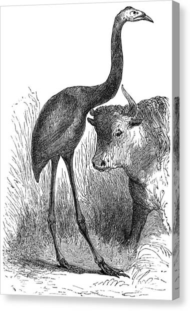 Moa Canvas Print - Giant Moa And Prehistoric Cow, Artwork by